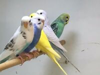 QUALITY Baby Budgies For Sale