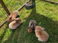 4 Adorable Mini Lops