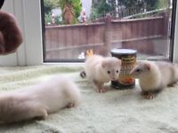 Ferrets for sale ready now light colours tame