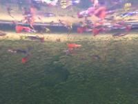 Guppies endlers and hybrids