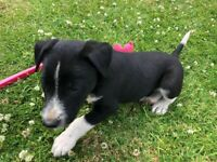 Beautiful B+W/Tri/Slate Grey Border Collie Puppies