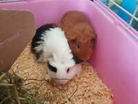 Two lovely 6 months old female guinea pigs with cage