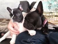 Beautiful KC registered French Bulldog Puppy ONLY 1 GIRLS LEFT