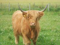 Shorthorn x Highland cow
