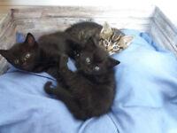 3 adorable kittens (9 week old) looking for loving homes
