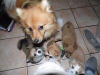 2 Beautiful Pomeranian X puppies & 1 wee kitten