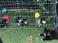 5 kittens for sale £200 each