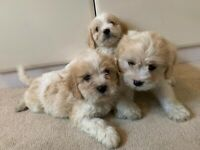 Cavachon | Dogs & Puppies for Sale - Gumtree