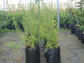 HAWTHORN HEDGING 10 LT SACK 3FT TALL PLANT NOW SUPERB VALUE