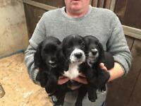 Cocker spaniels pups