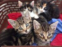 4 Kittens for sale 40£