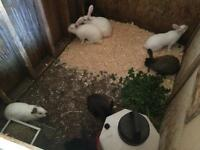Rabbits for sale Breeders or meat