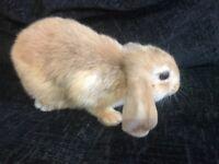 Baby mini lop rabbits.
