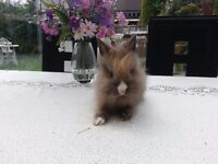 pure breed lion head baby rabbits for sale