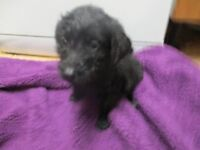 BLACK LABRADOODLE PUPPIES READY NOW