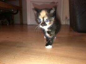 Tortoiseshell cat for sale