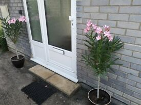 Two beautiful Oleander plants