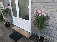 Two beautiful Oleander plants