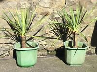 2 outdoor flowering yucca plants ( price is for both)