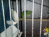 Quaker parrot and large cage