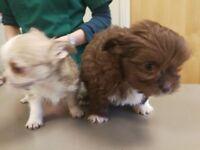Tea-cup puppies