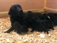 Labrador puppies black kc reg