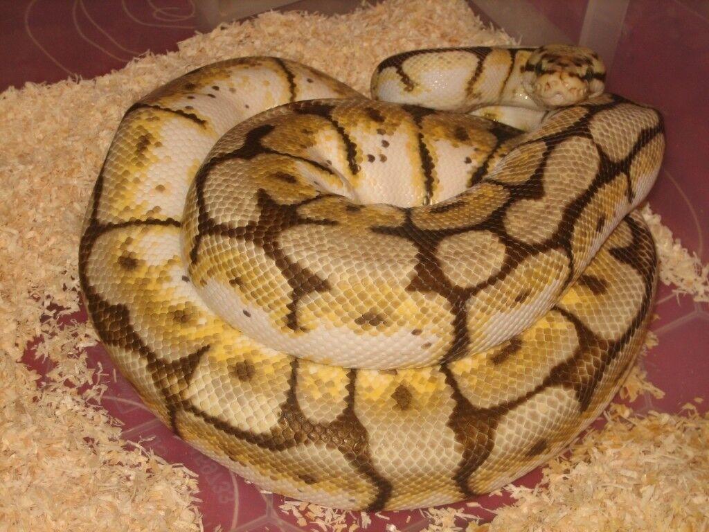 Royal python: Bumblebee het hypo adult female CB11