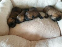 K.C REGISTERED border terrier pup's