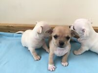 Chihuahua puppies ready to go