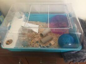 Dwarf Siberian hamster 8 months old