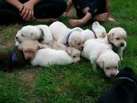 purebred Lab puppies