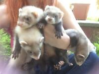 Baby ferrets - ready now