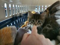 8 weeks old kitten Bengal Maine Coon