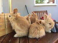 Mini lop bunnies, 8 weeks old, cowley oxford