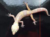 Leopard Geckos for Sale Tyne & Wear