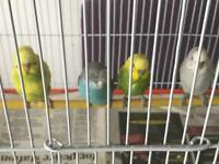 Budgies birds