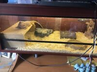 Breaded dragon with full set up 4 ft for sale