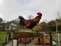Welsummer Cockerell Rooster
