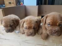 Dogue De Bordeaux puppys