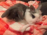 Baby mini lionlop bunnies