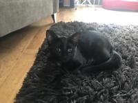 Black and ginger Bengal cross kitten