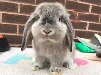 Dwarf lop rabbit - female