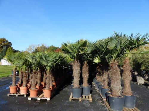 Prächtig Pflanzen + Blumen: mediterraner Lagerverkauf mit Palmen + Oliven &CC_61