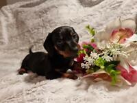 Black and tan dachshund girl ready to go