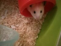 Hamster with equipment