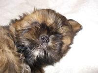 Shih Tzu girl puppy