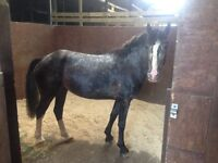 14 hh 4 year old mare
