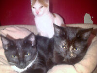Missing, Lost cat small and black slim female