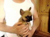 Fawn French Bulldog Puppies