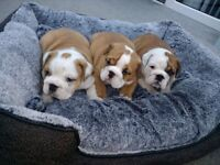 KC REGISTERED English BULLDOG PUPPIES for sale